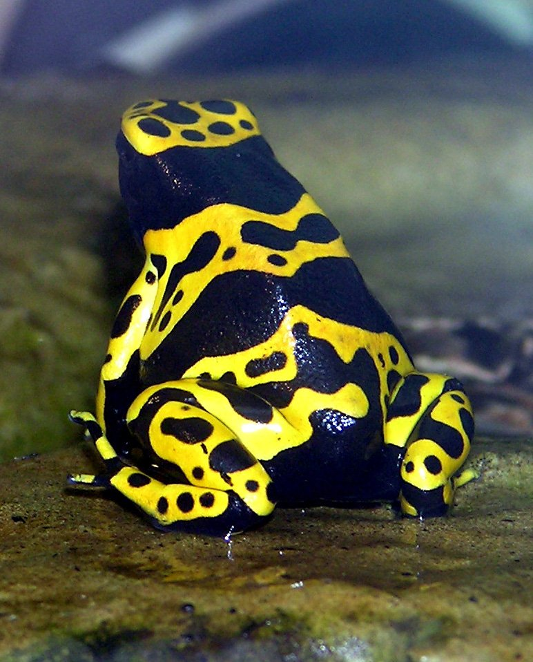 yellow-banded.poison.dart.frog.arp