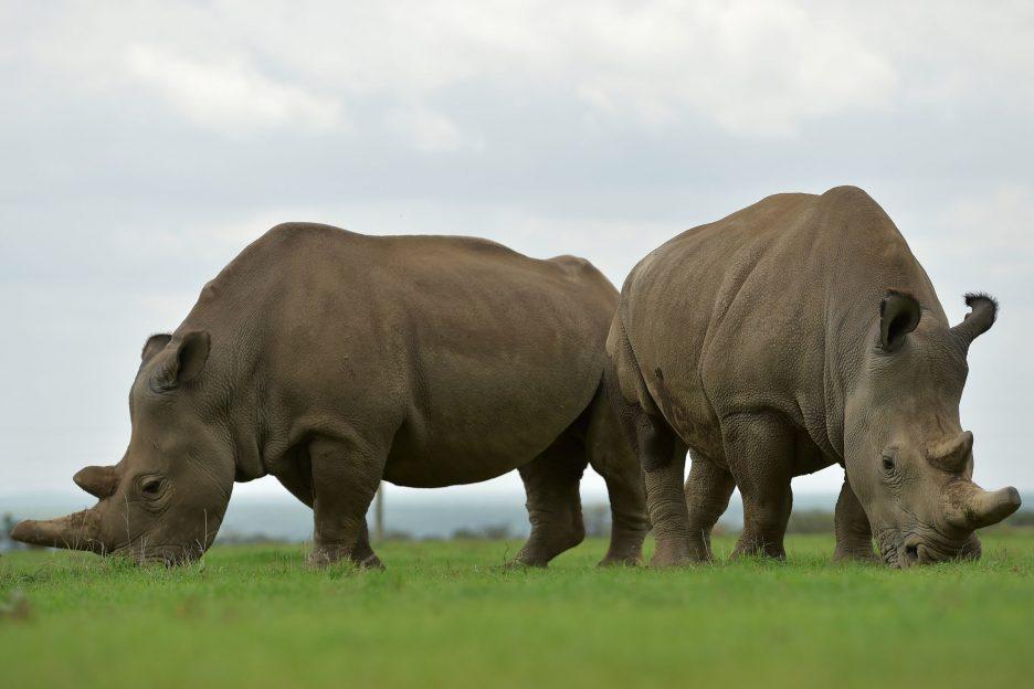 Se întâmplă în tech duminică rinoceri albi
